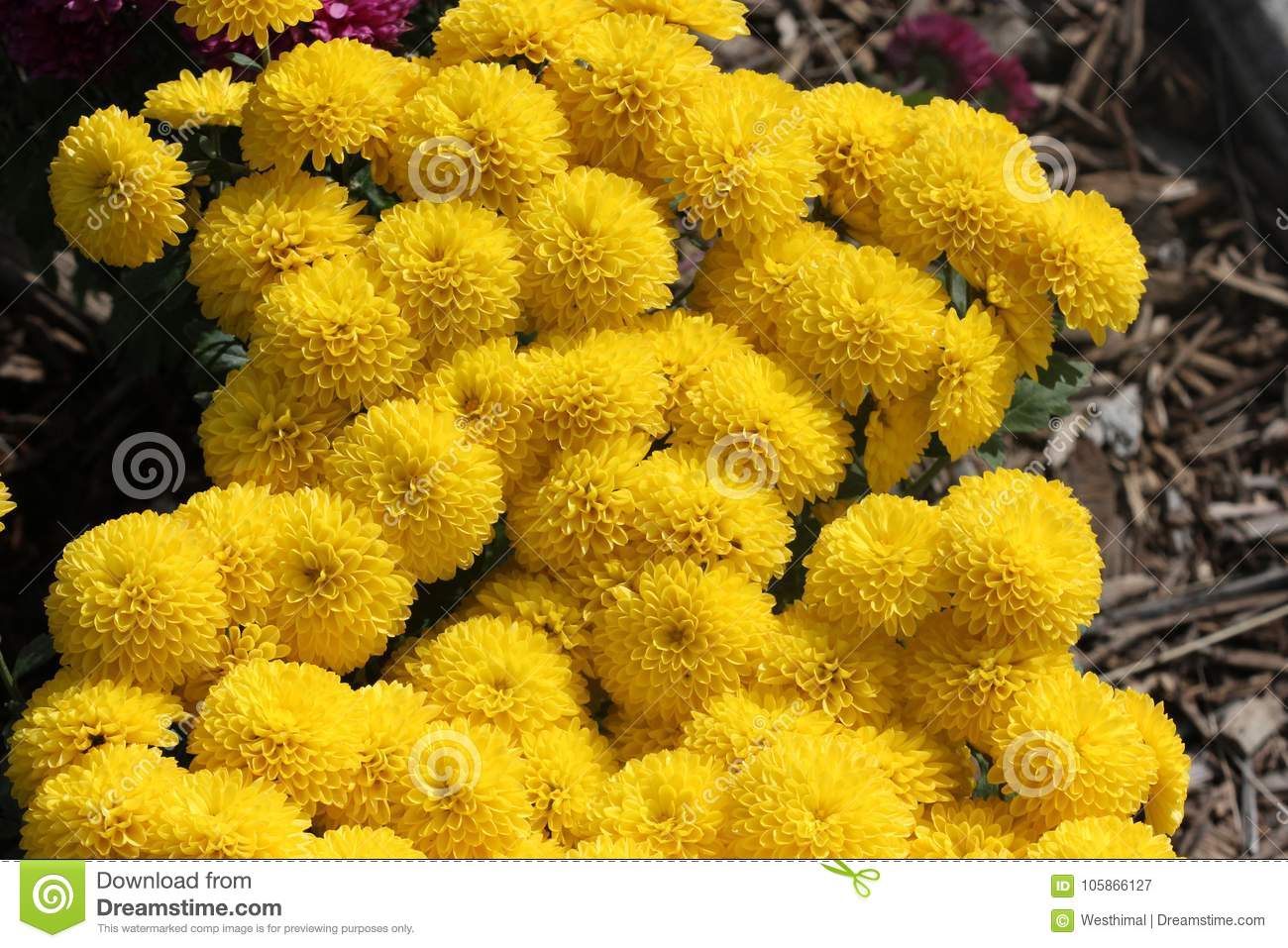 Belgian Mum Allegra Yellow, Chrysanthemum morifolium `Allegra Yellow`