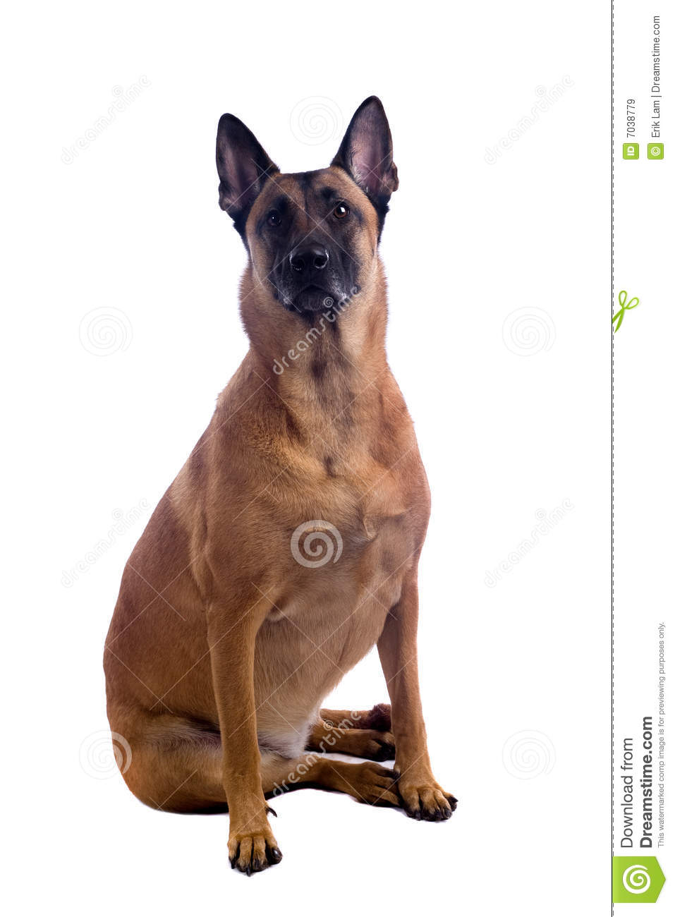 Belgian Shepherd Dog Royalty Free Stock Images - Image: 7038779