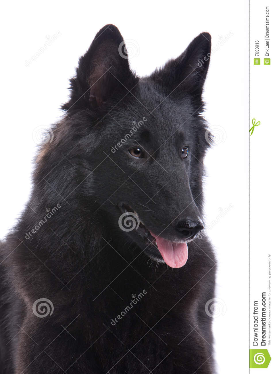 Belgian Shepherd Dog Royalty Free Stock Image - Image: 7038816