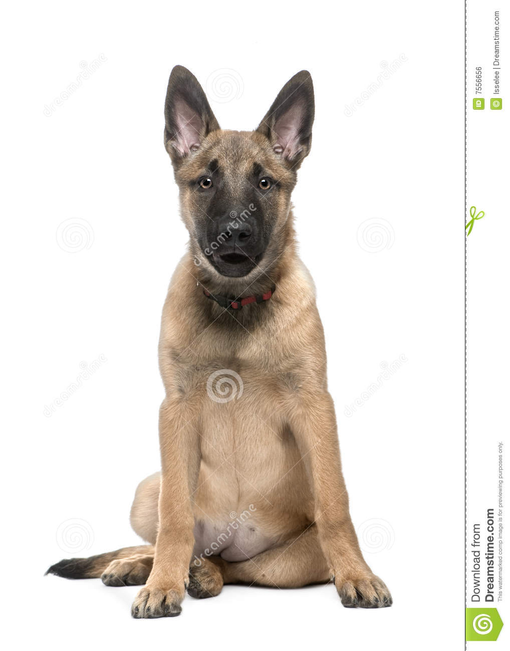 Belgian Shepherd Dog Malinois (4 months) in front of a white ...
