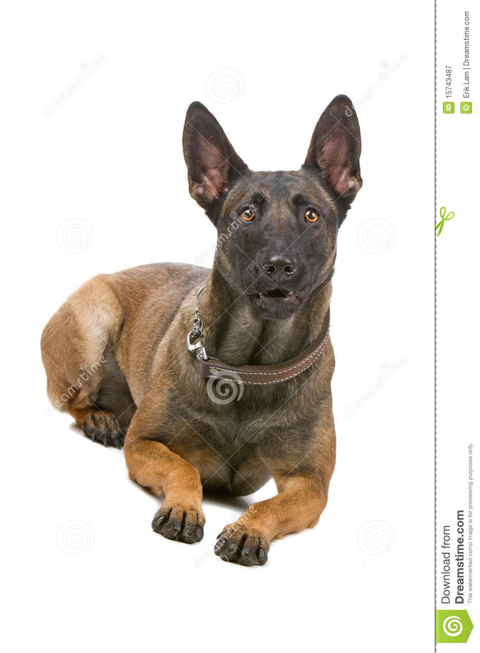 Front view of belgian shepherd dog, malinois, lying and looking at