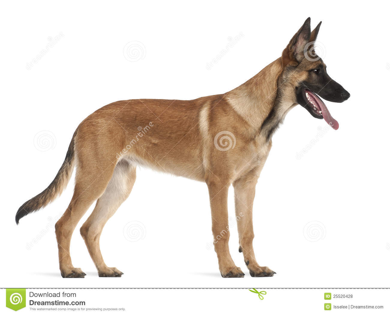 Belgian Shepherd Dog Puppy, 5 Months Old Royalty Free Stock Photos ...