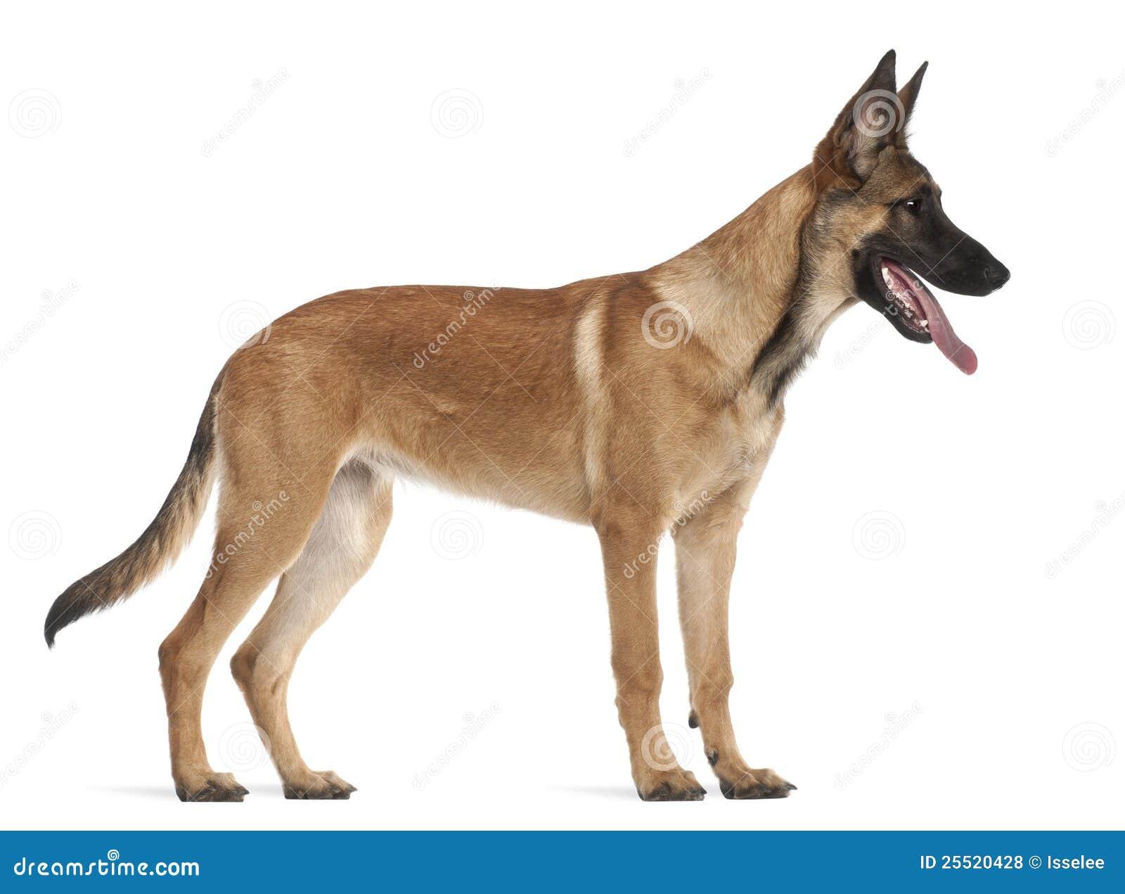 Belgian Shepherd Dog Puppy, 5 Months Old Royalty Free ...