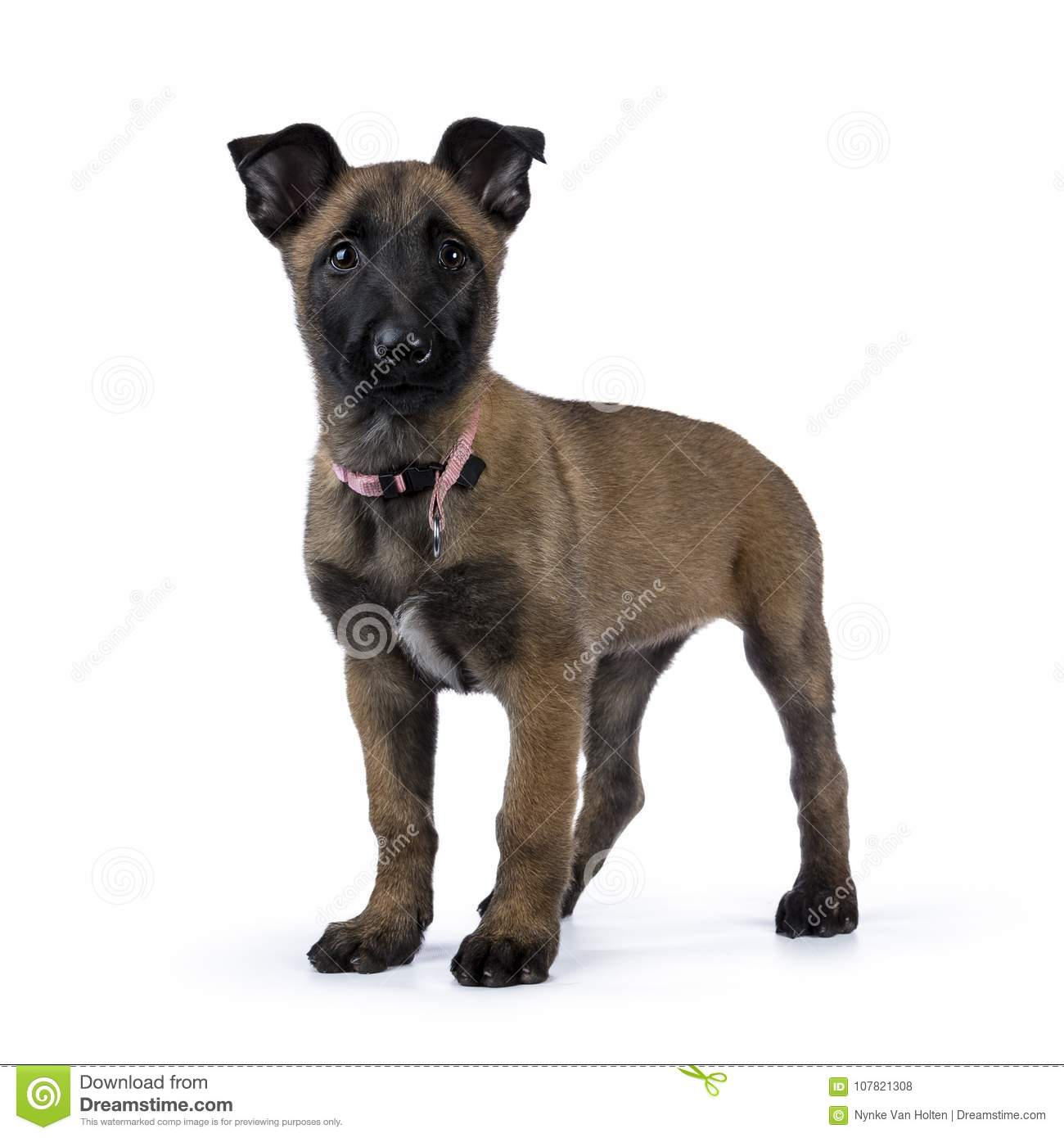 Belgian shepherd dog / puppy looking up standing isolated on white background