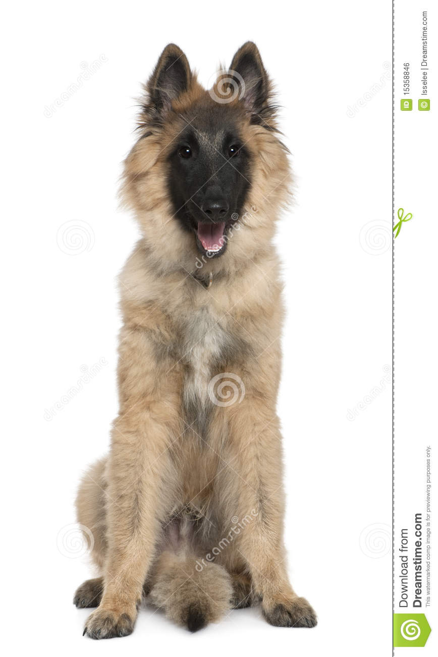 Belgian Shepherd Tervuren Picture Clipeart Photo 15284 | Dog Breeds ...