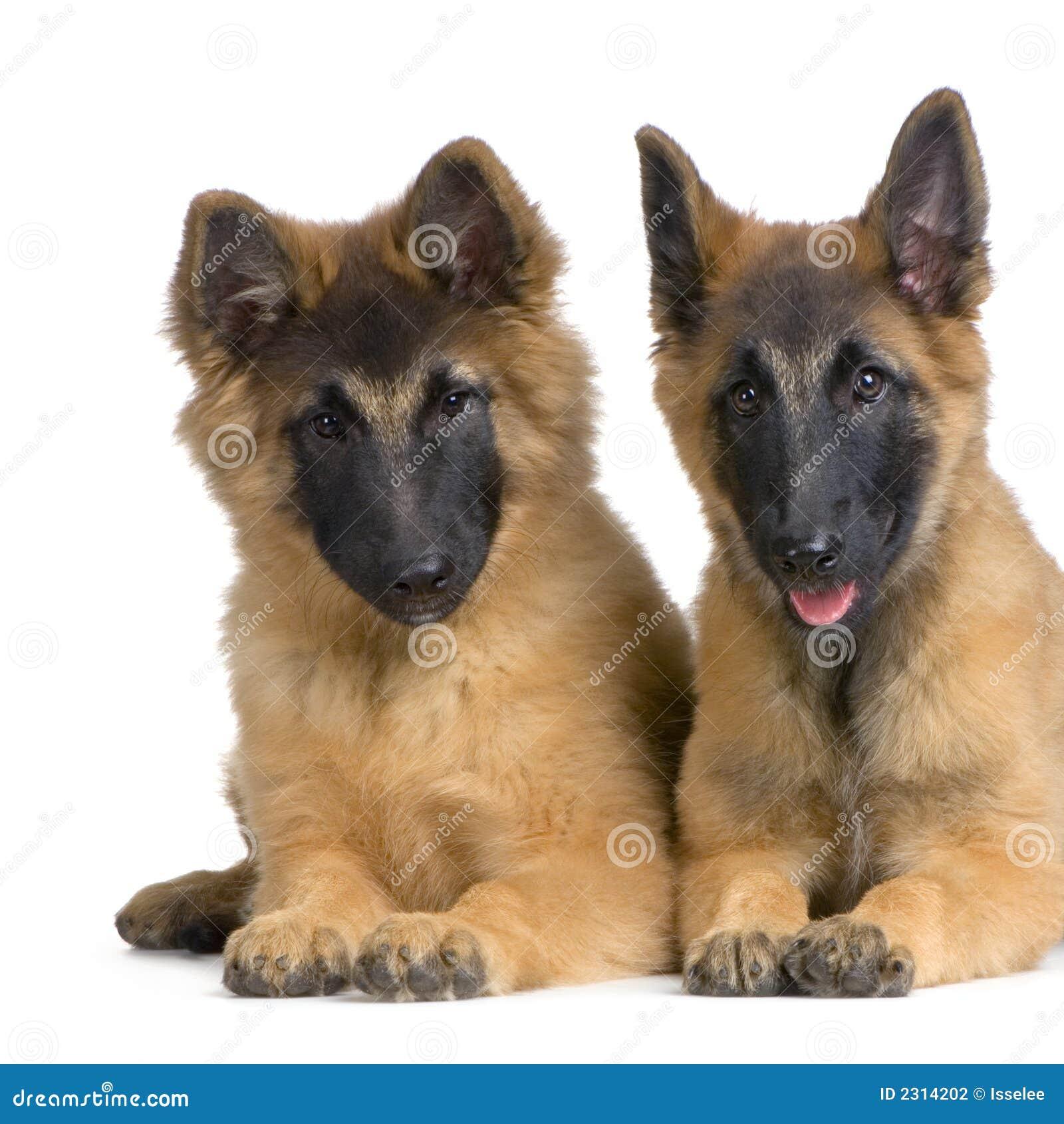 Belgian Tervuren Puppies stock photo  Image of beast, couple