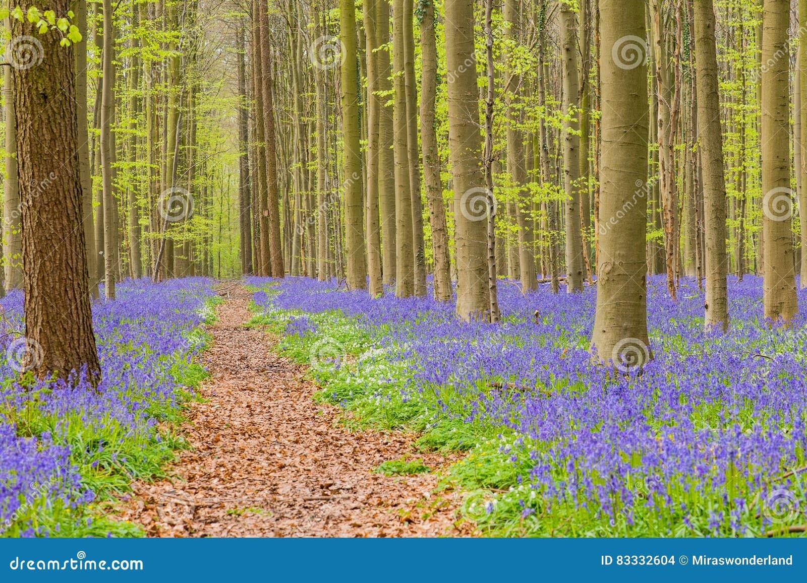 Belgien Skoghallerbos På Våren Med Engelska Blåklockor Arkivfoto Bild 83332604