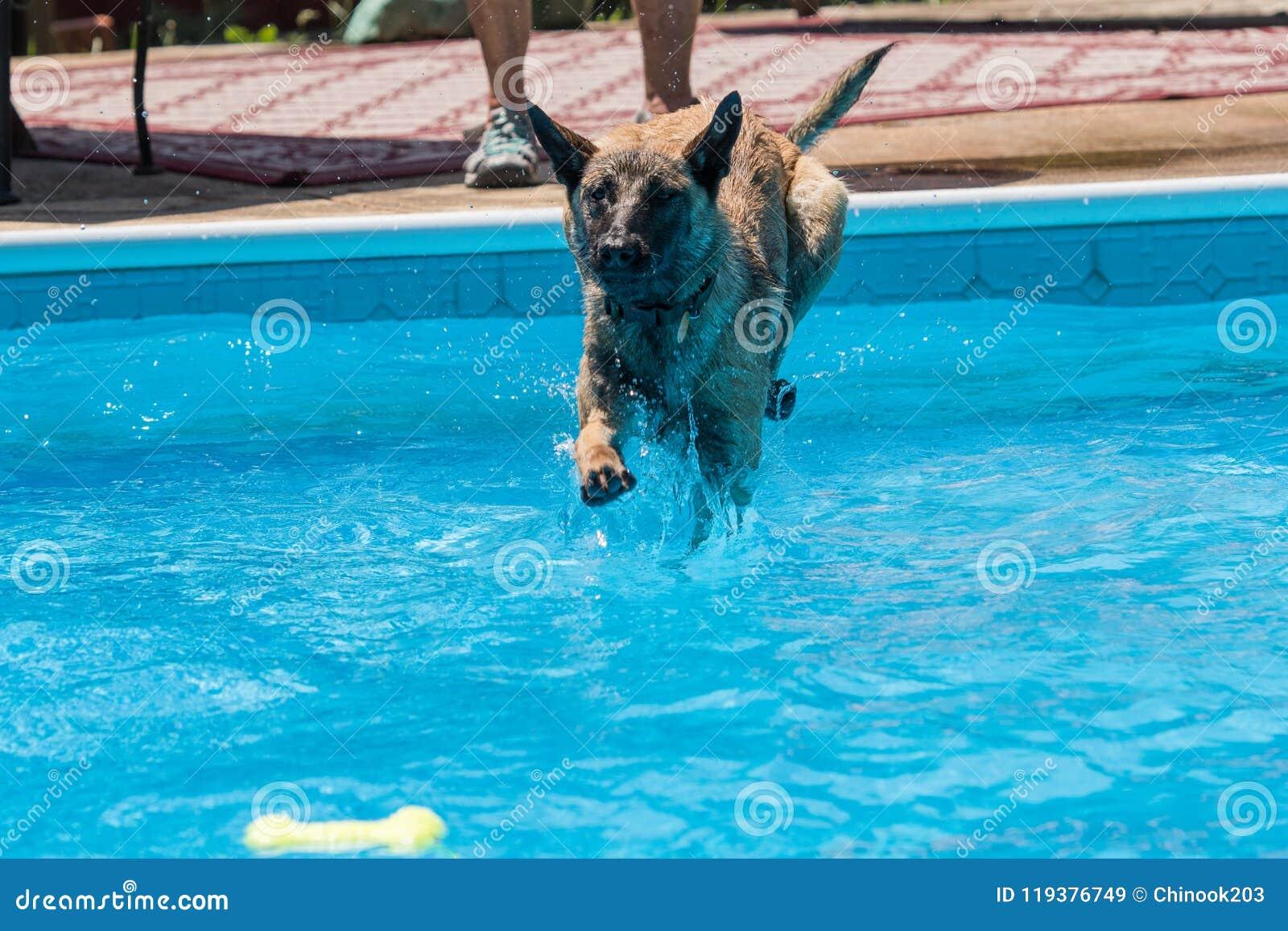 Belgier Malinois-Hund, der in Pool für ein Spielzeug springt