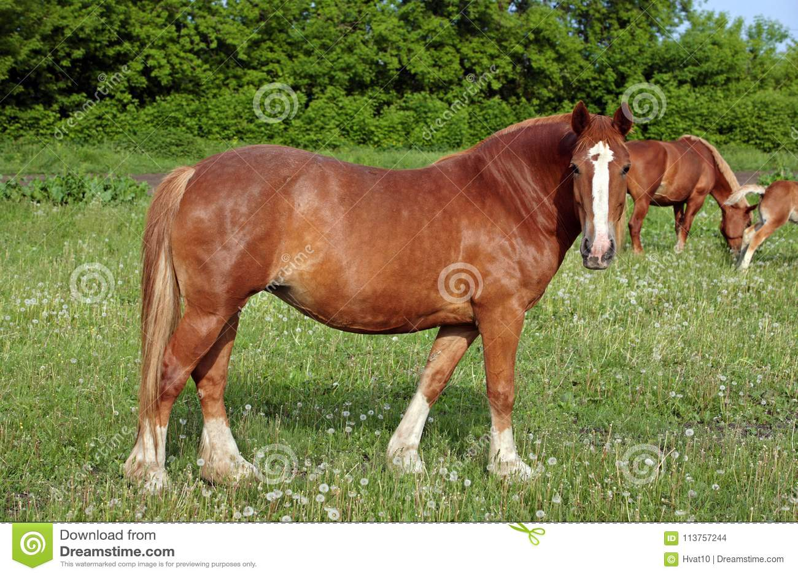 Belgijski szkicu koń w trawie