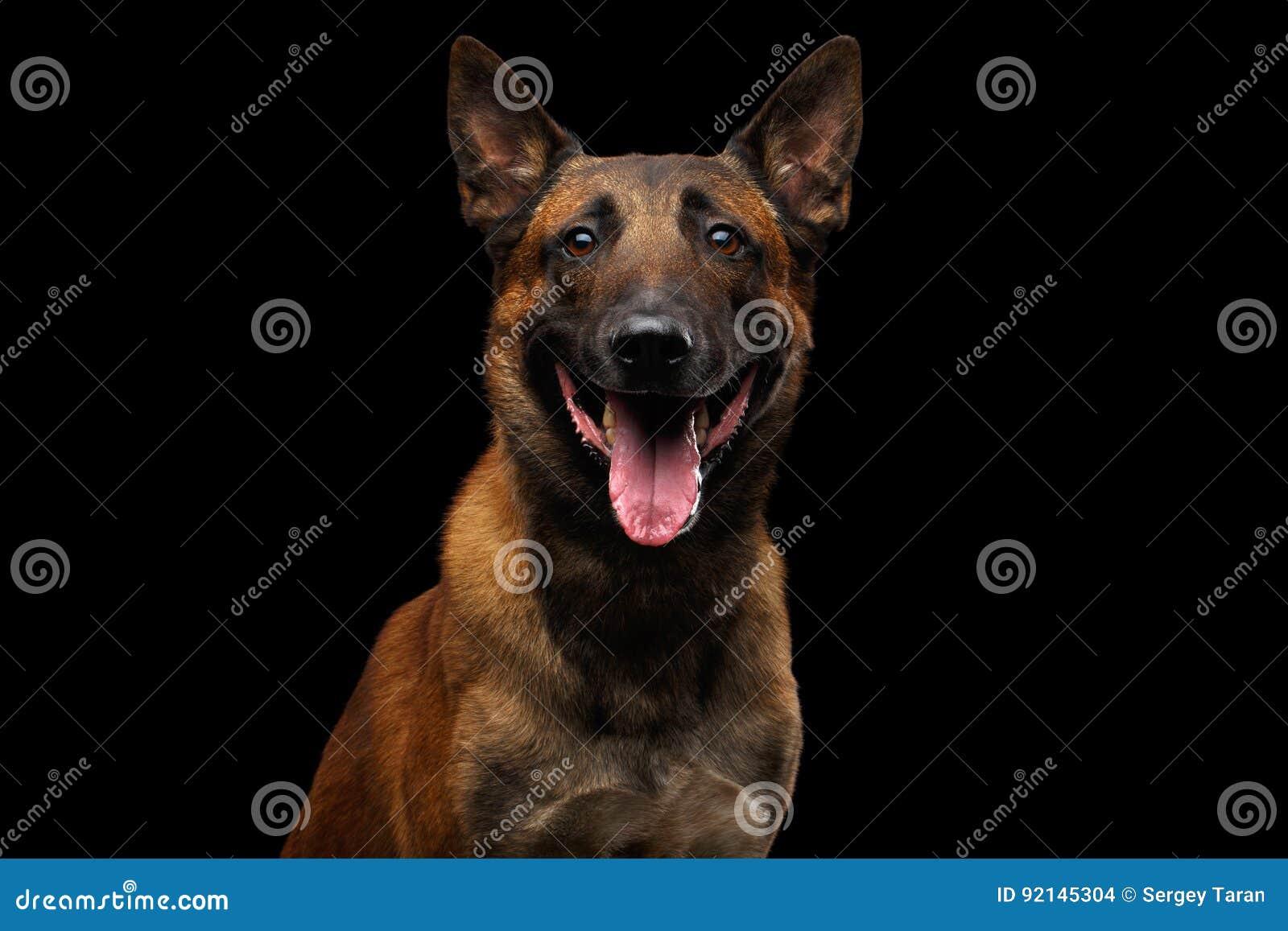 Belgischer Schäferhund-Hund Malinois