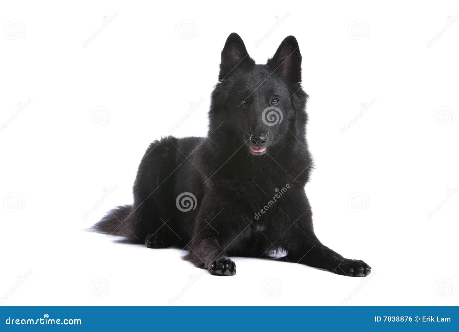 Belgisk sheepdog