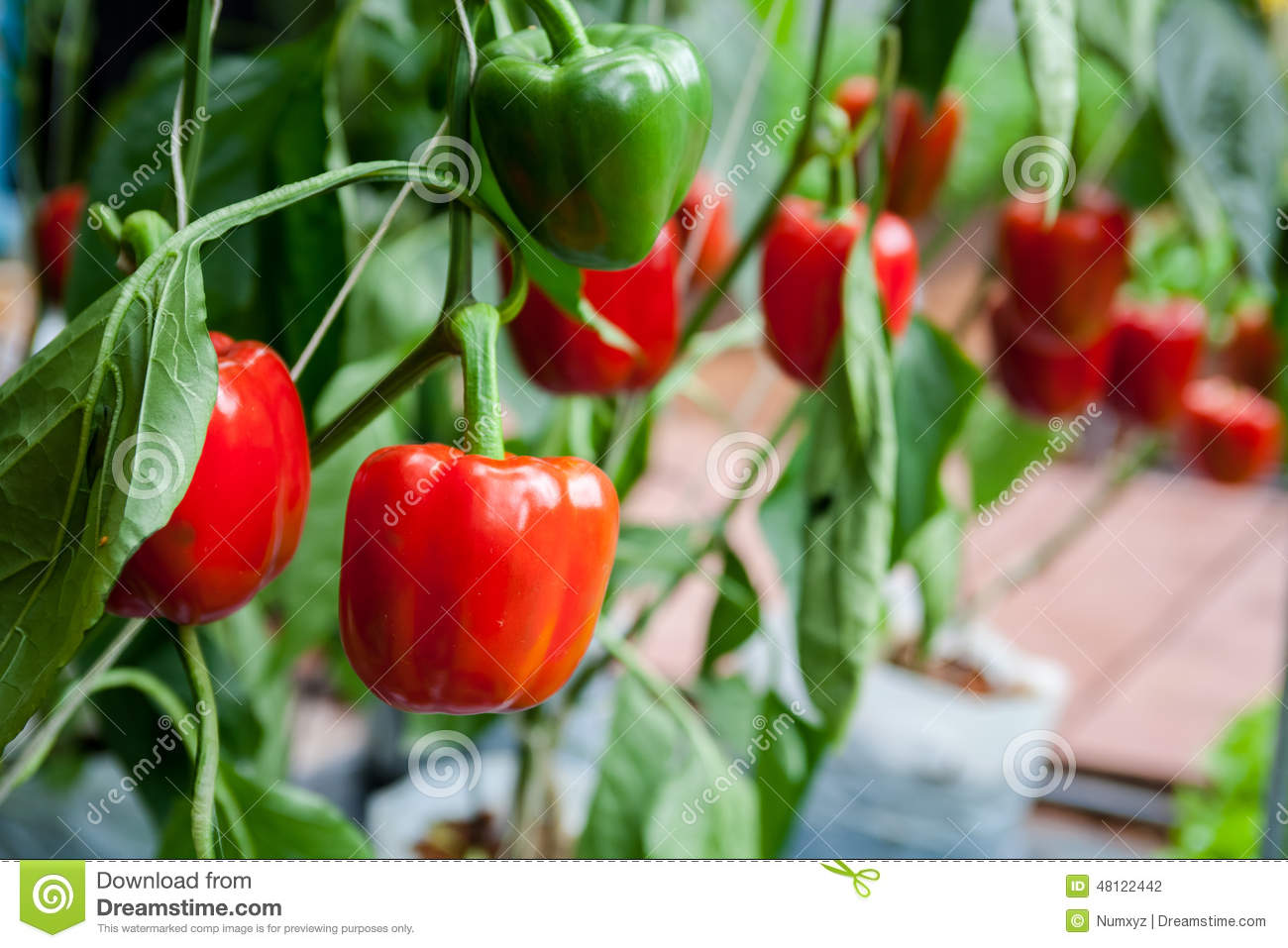 Green Bell Pepper To Be Harvest Stock Photography ...