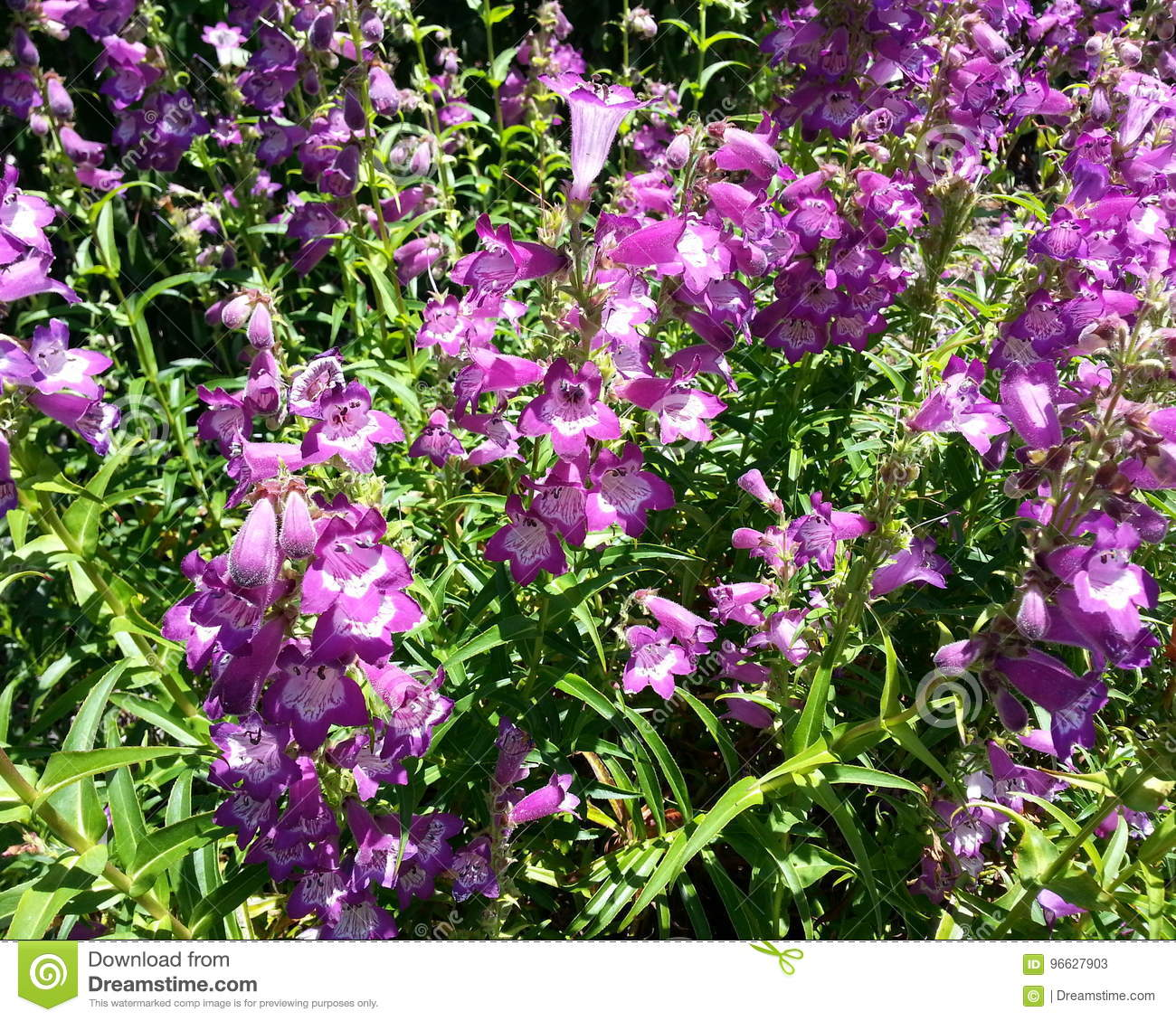 Bell Shaped Purple Blossoms Stock Image Image Of Life Idyllic