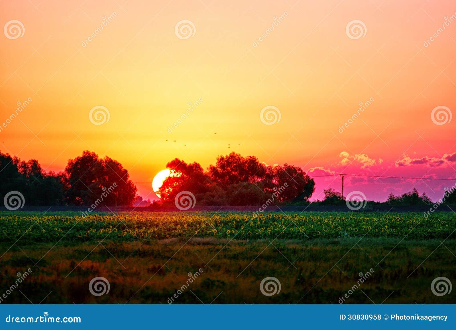 Bella alba che behing gli alberi sopra un campo dei girasoli