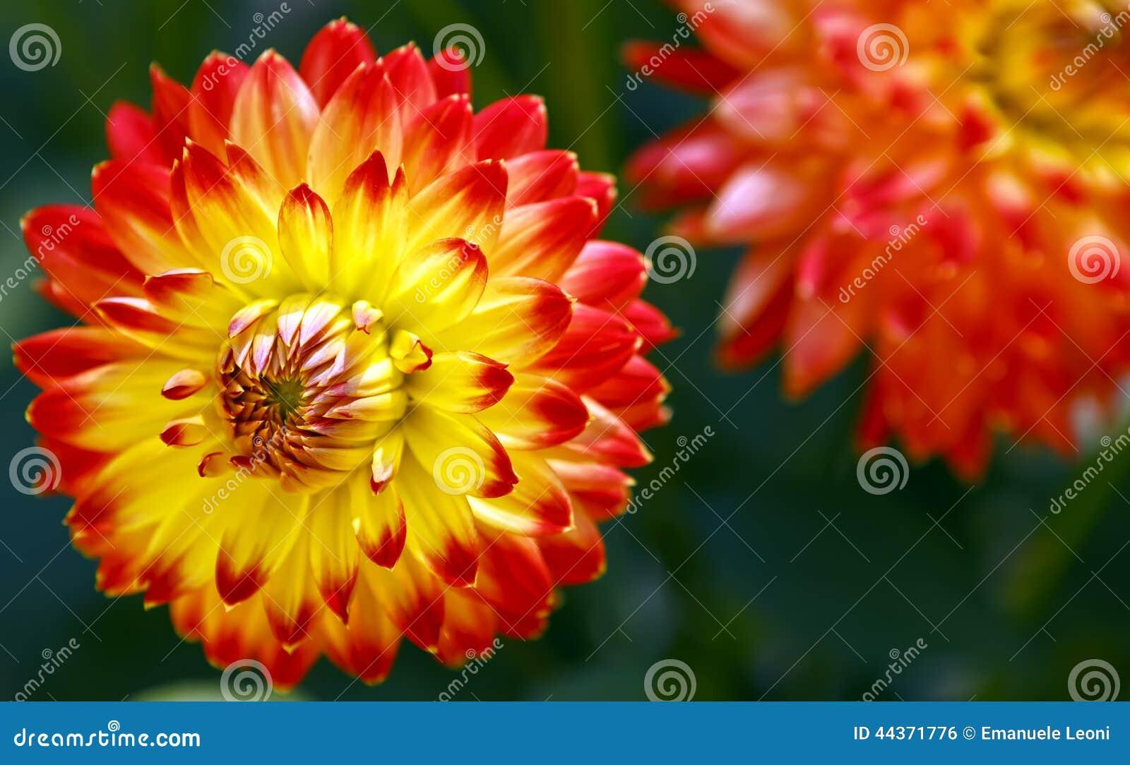 Bella dalia di fioritura Colori: rosso e giallo