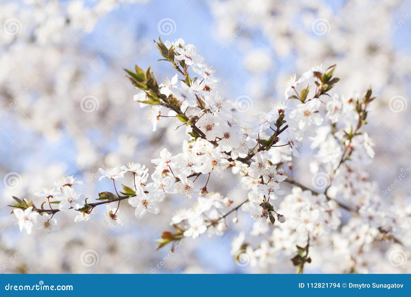 Fiori Bianchi Di Primavera.Bella Donna In Primavera Fiori Bianchi Di Fioritura Degli Alberi