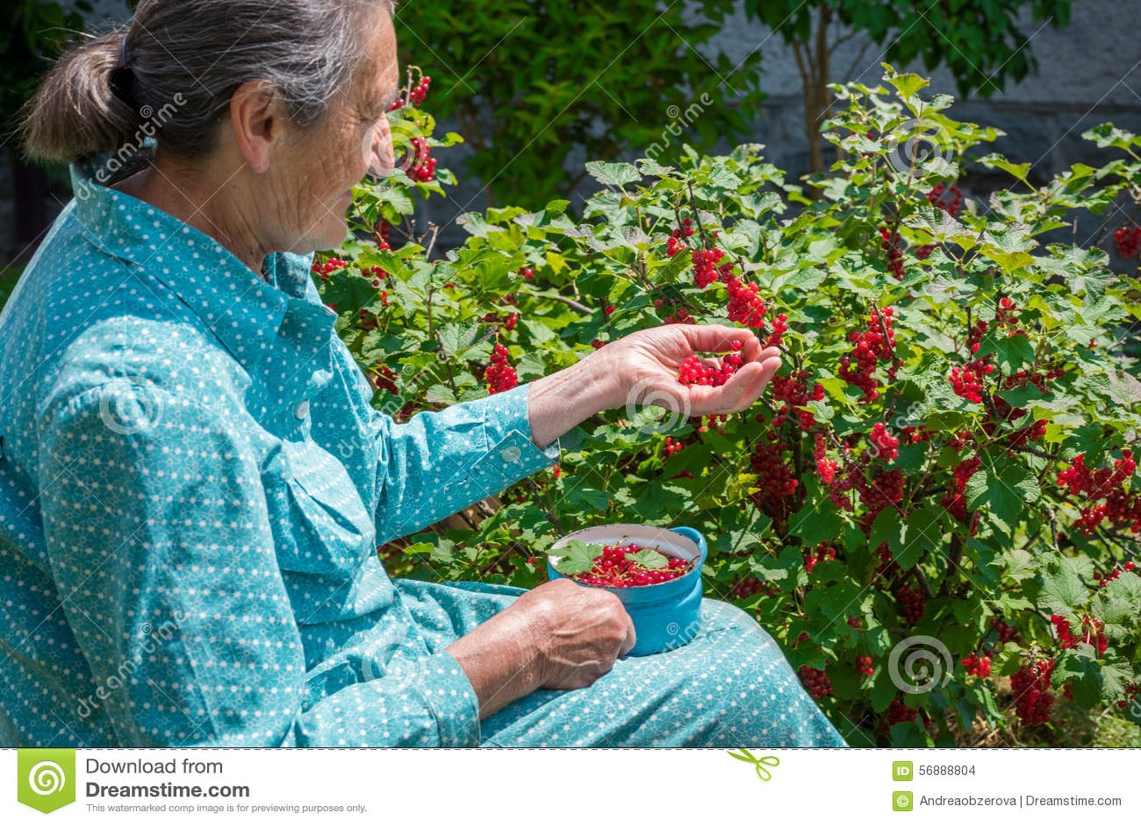 Bella donna senior che seleziona i ribes nostrani