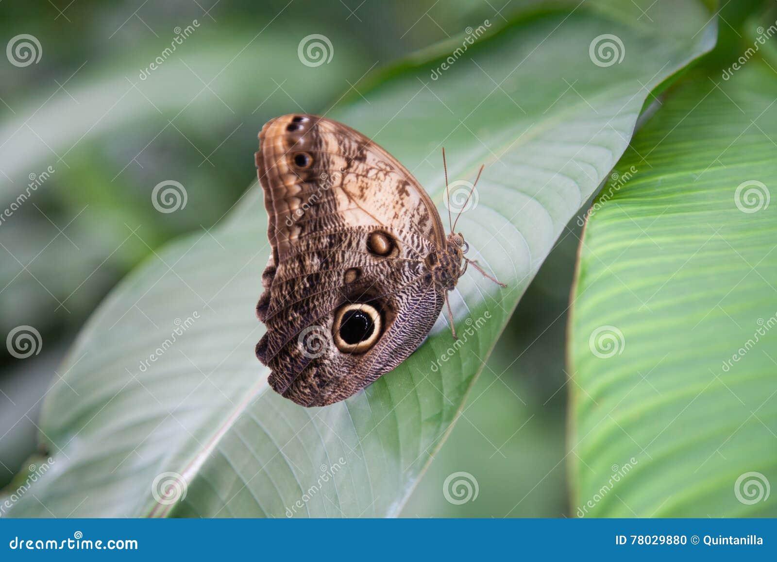 Bella farfalla dei peleides di Morpho sulla foglia verde