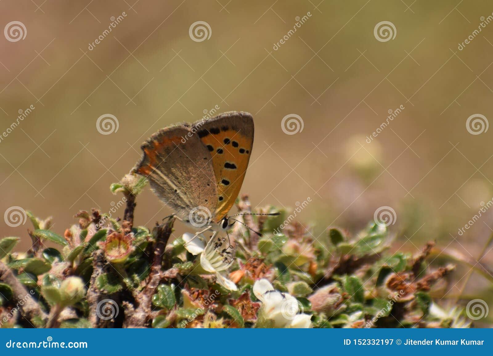 Bella farfalla di rame comune di phlaeas del lycaena