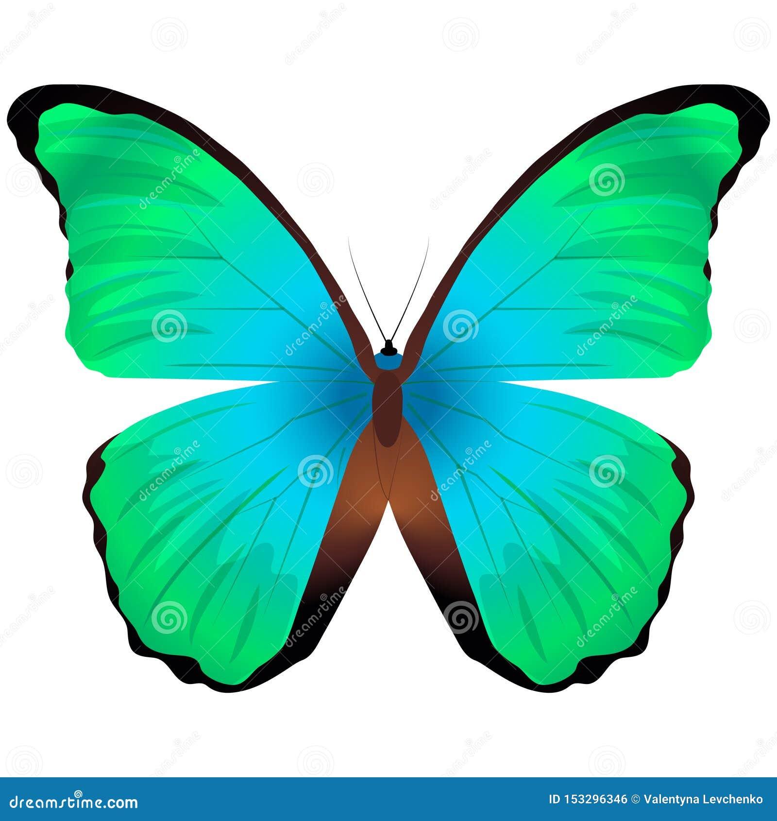 Bella farfalla isolata su un fondo bianco Grande farfalla arancio del glaucippe di punta