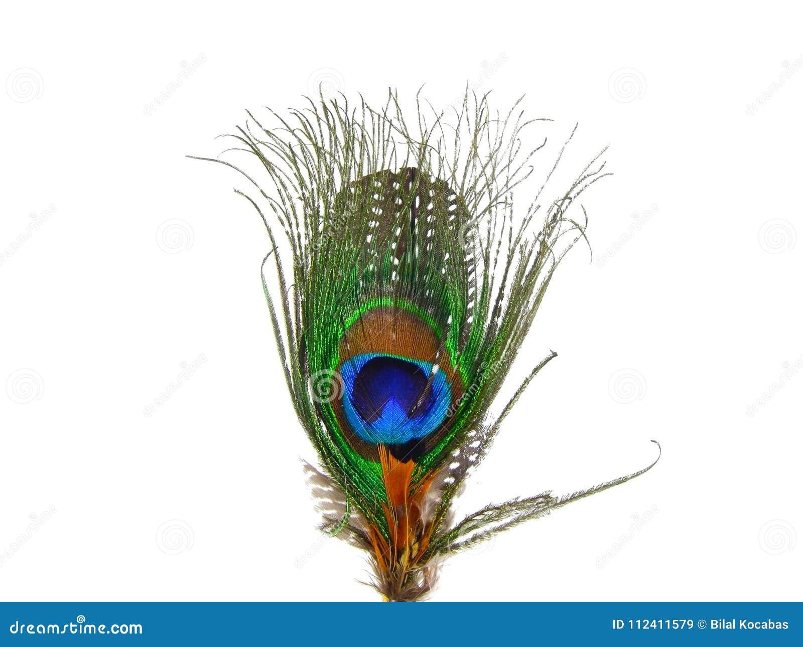 Bella fine della piuma del pavone su su fondo bianco isolato