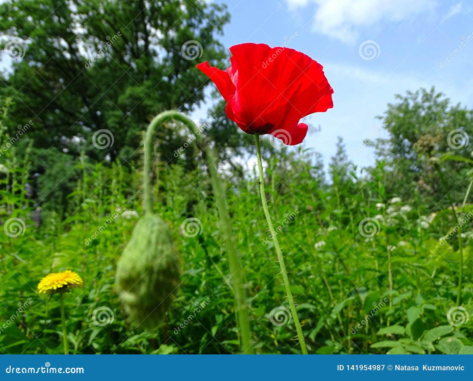 Bella fine rossa del fiore del papavero su nell erba verde