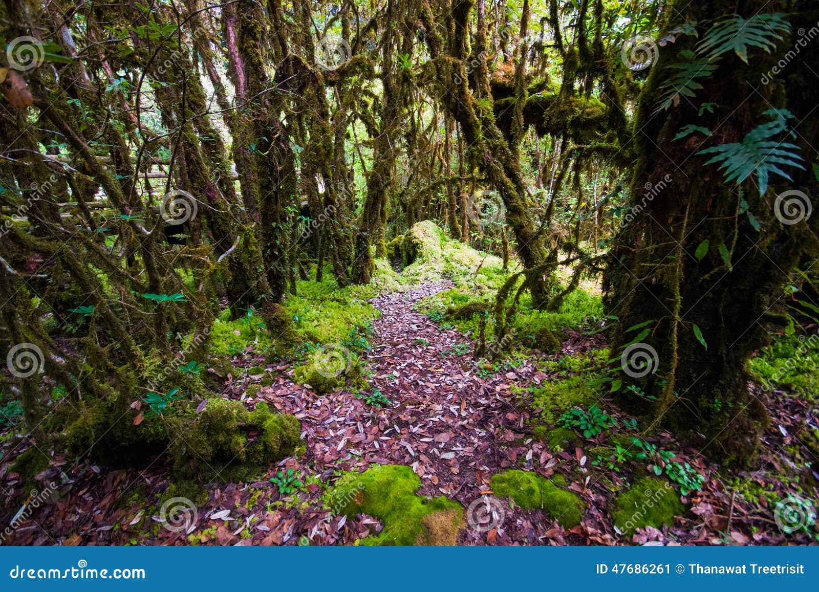 Bella foresta pluviale al sentiero didattico del Ka del ANG nel parco di nazione del inthanon di doi, Tailandia