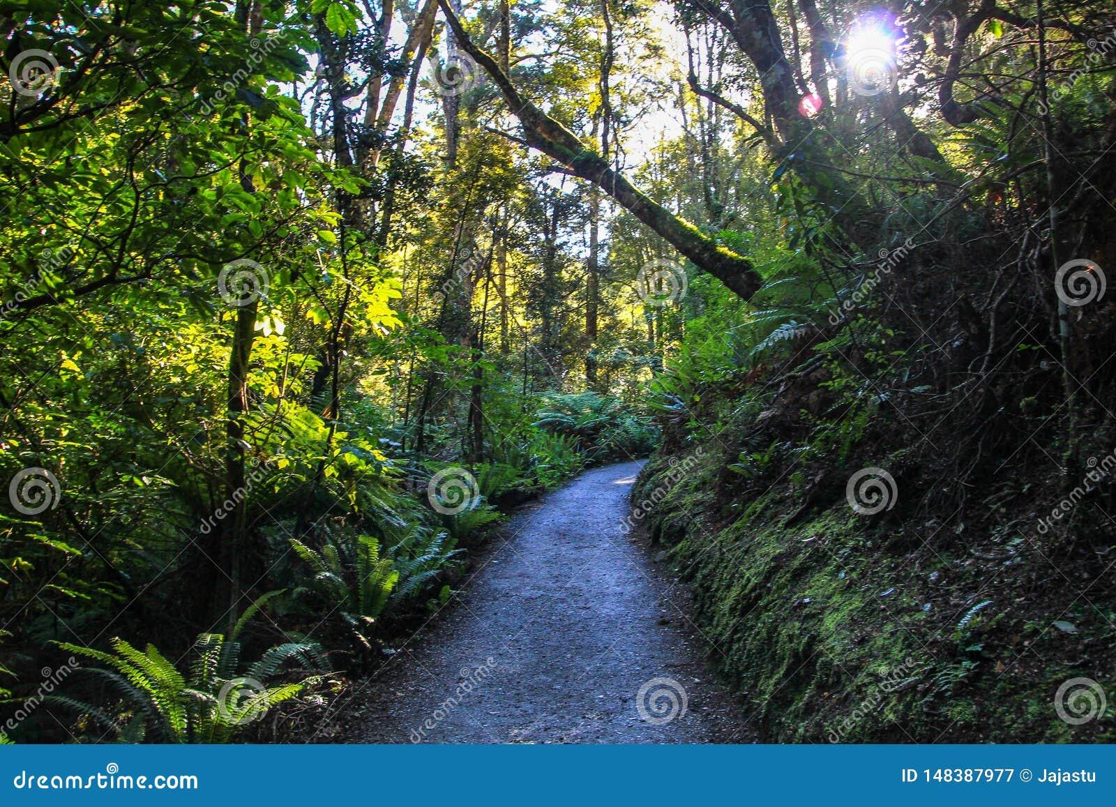 Bella foresta scura della Nuova Zelanda