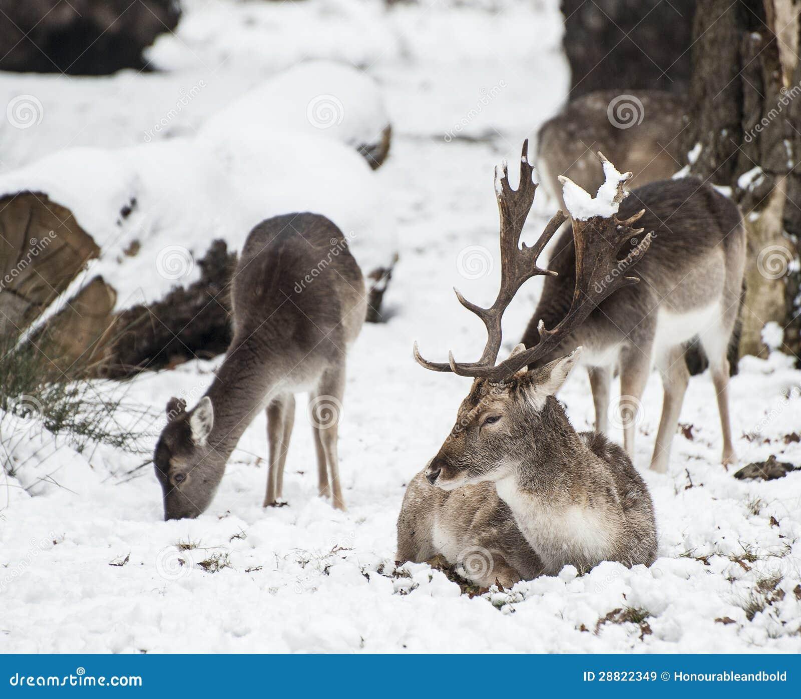 Bella immagine dei daini nel paesaggio di inverno della - Animali in inverno clipart ...