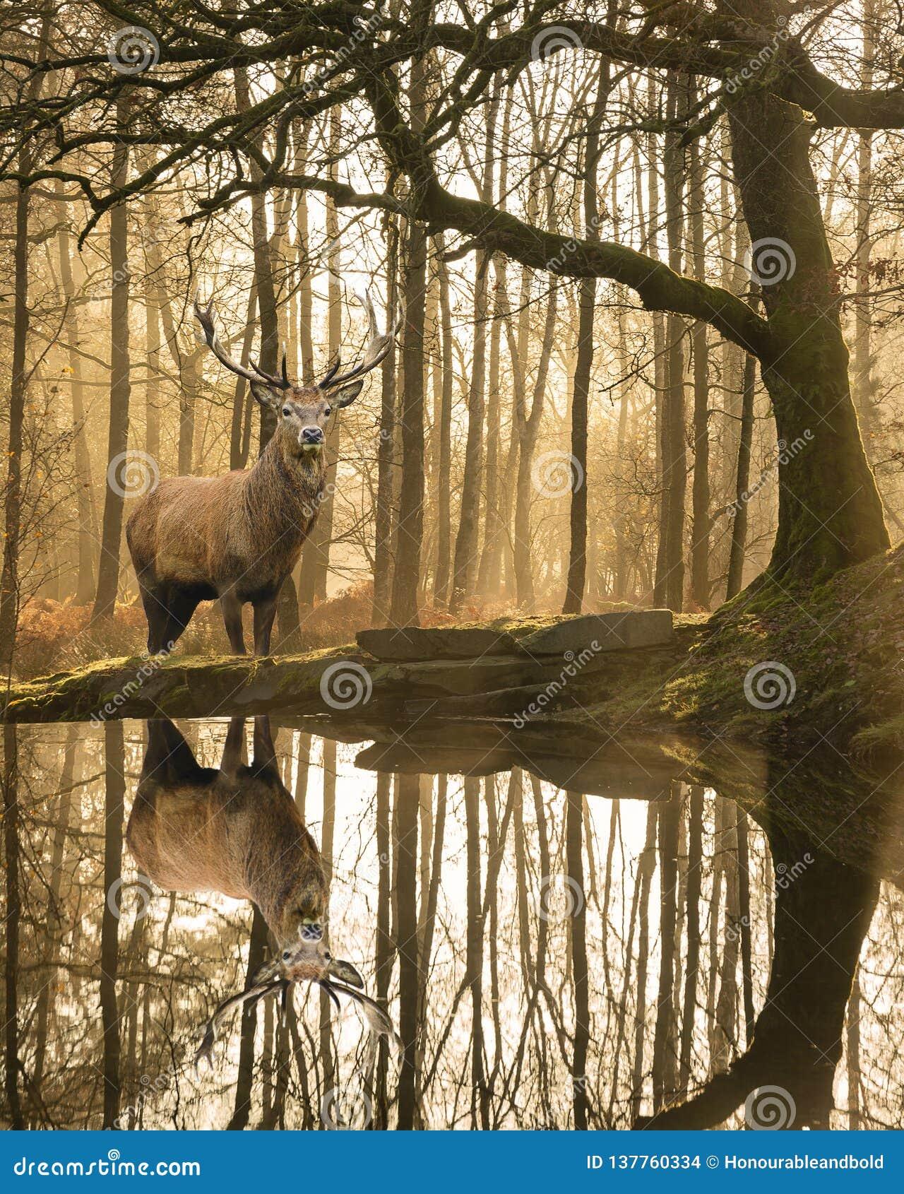 Bella immagine del paesaggio ancora della corrente nella foresta del distretto del lago con il bello cervus elaphus maturo del ma