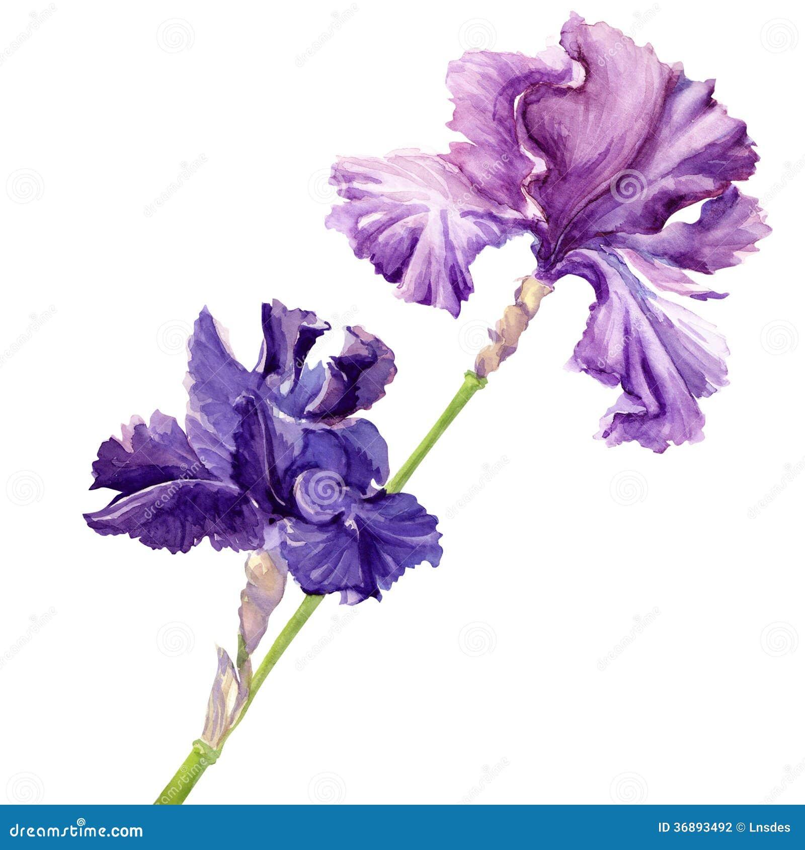 Download Bella iride del fiore illustrazione di stock. Illustrazione di artistico - 36893492