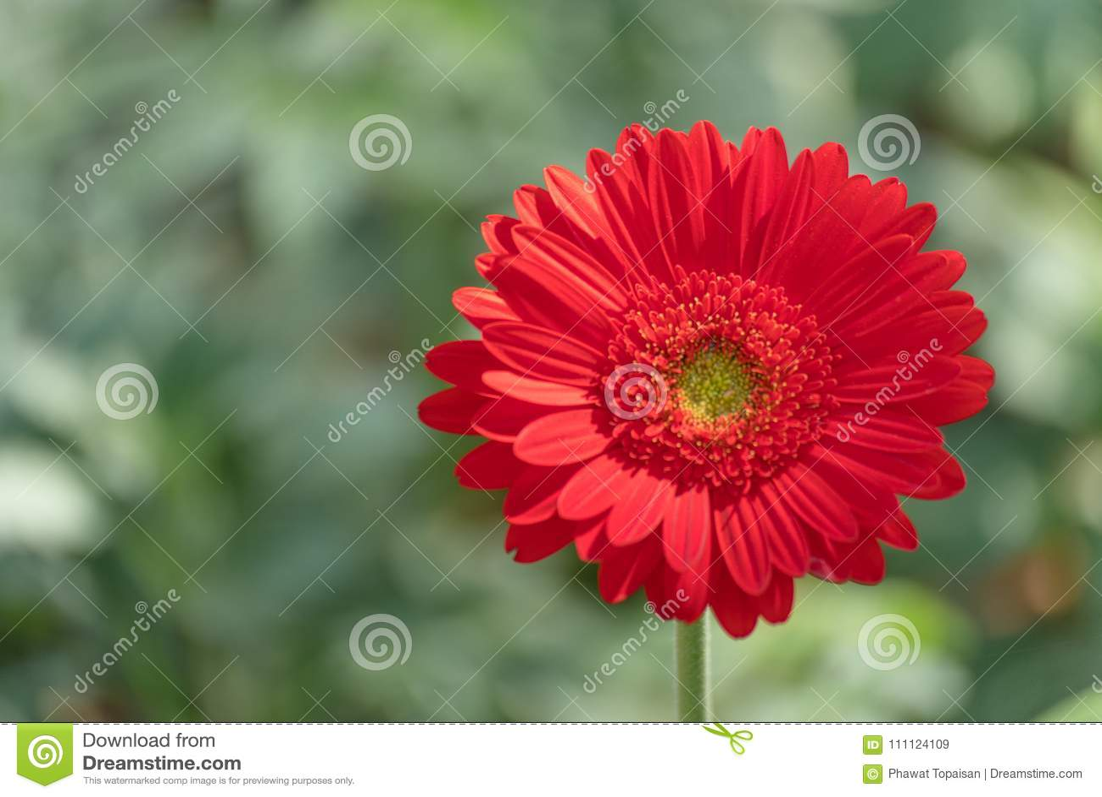 Bella margherita rossa della gerbera del primo piano e fiore pastello variopinto Margherita rossa della gerbera sul blackground d
