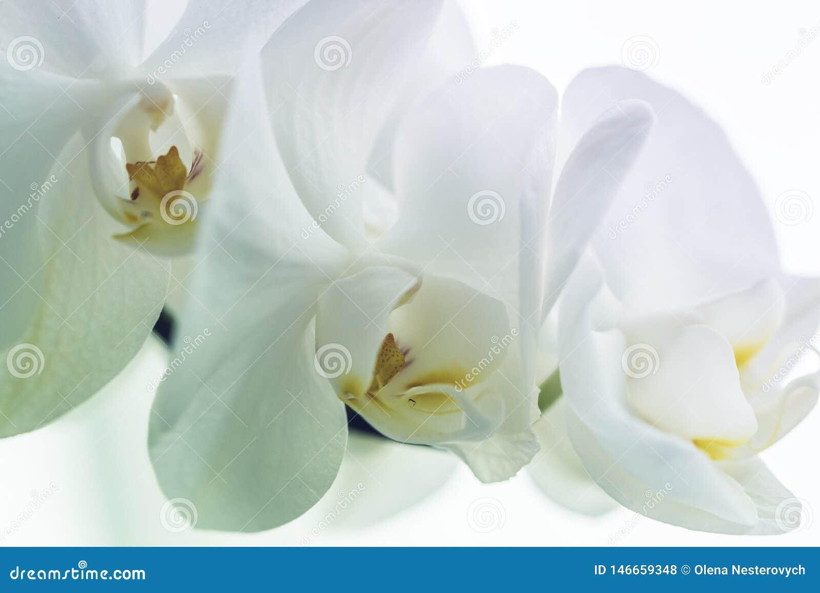 Bella orchidea bianca, fine su