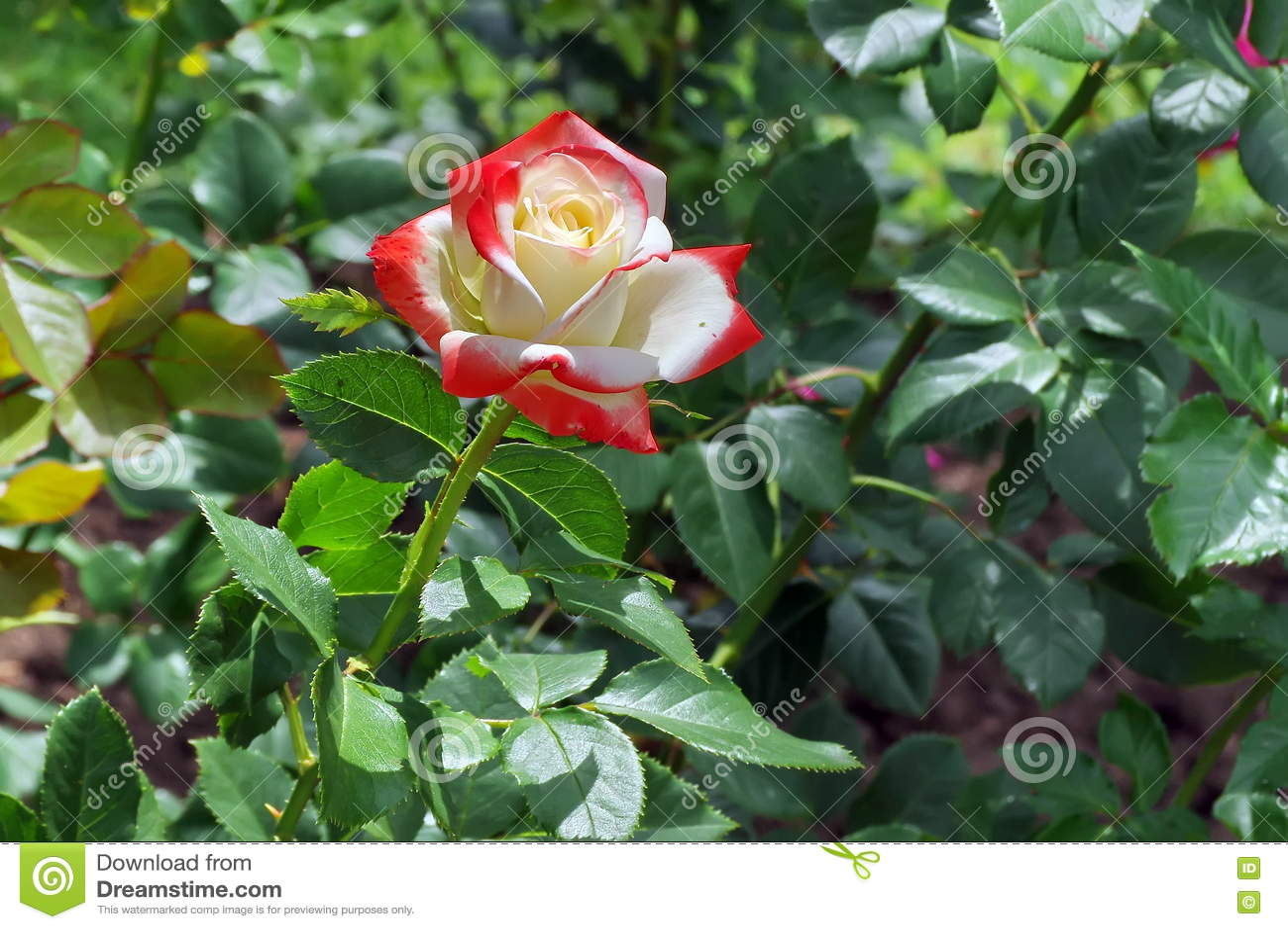 Bella Rosa