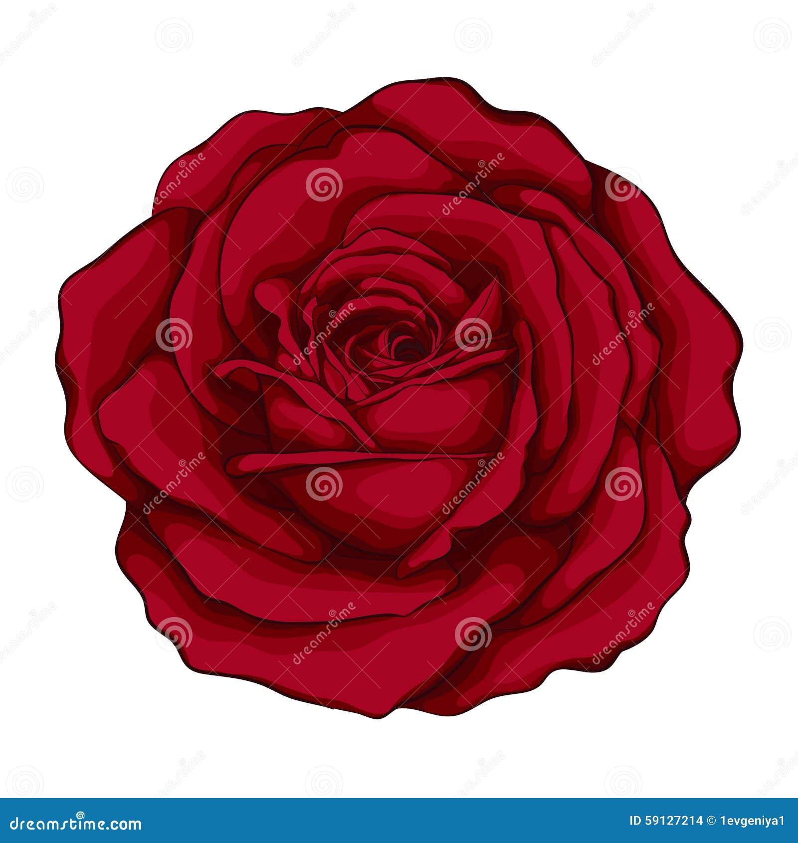 Bella rosa rossa con l 39 acquerello di effetto isolato su fondo bianco illustrazione vettoriale - Dessin de rose rouge ...