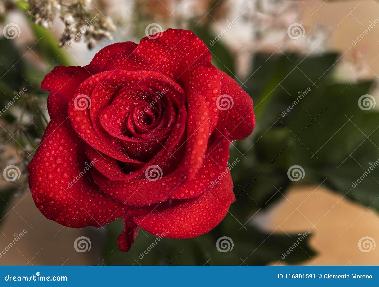 Bella rosa rossa con le gocce di acqua e lo spazio della copia