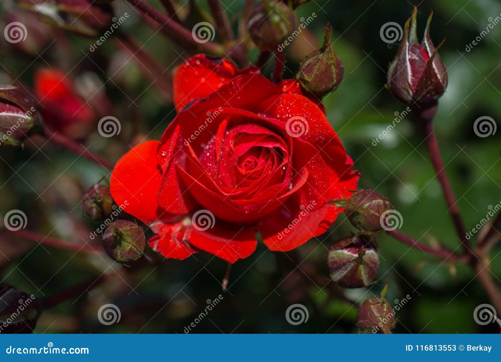 Bella Rose Flower variopinta