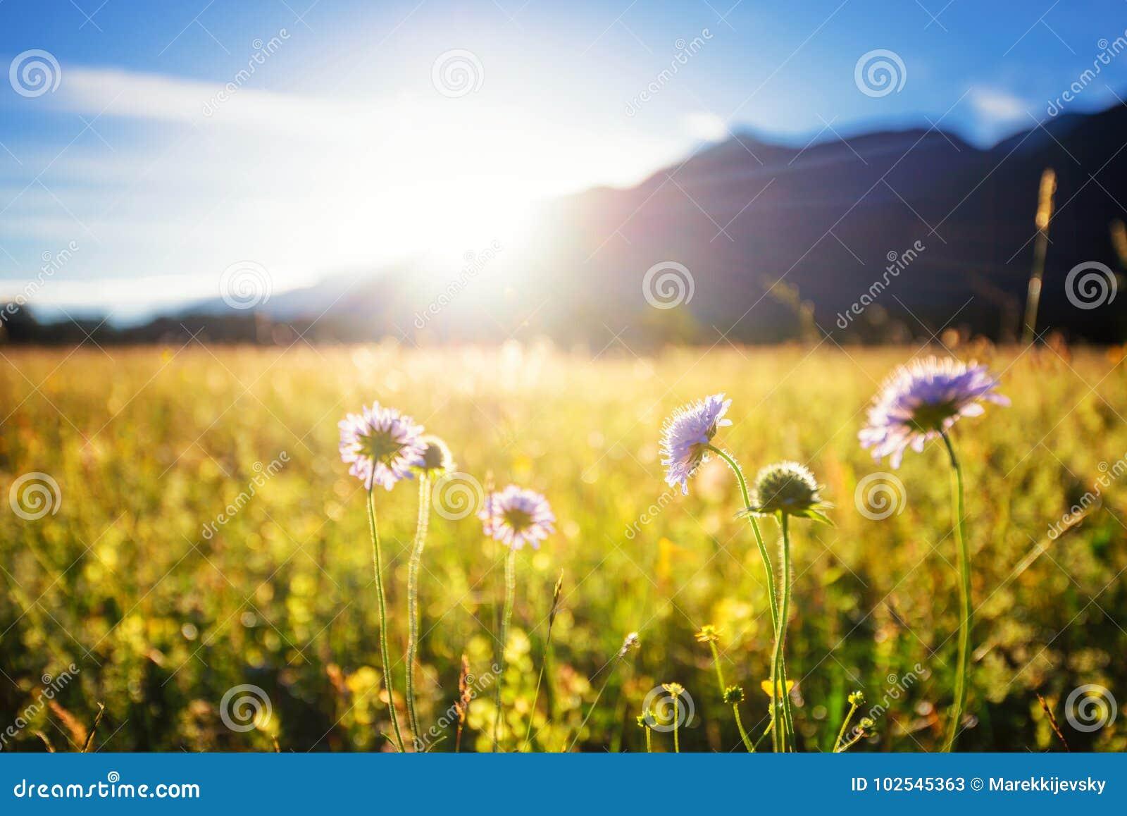 Bella sorgente del prato Chiaro cielo soleggiato con luce solare in montagne Campo variopinto in pieno dei fiori Grainau, Germani