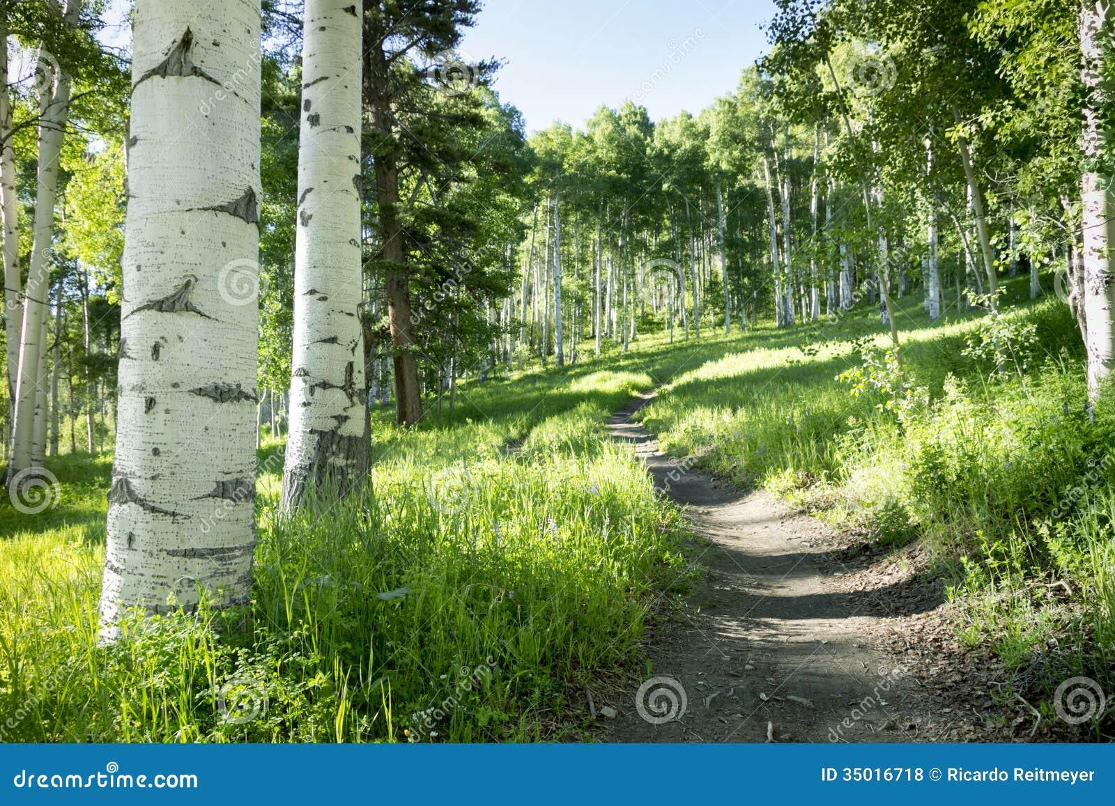 Bella traccia di escursione della montagna attraverso Aspen Trees di Vail Colorado