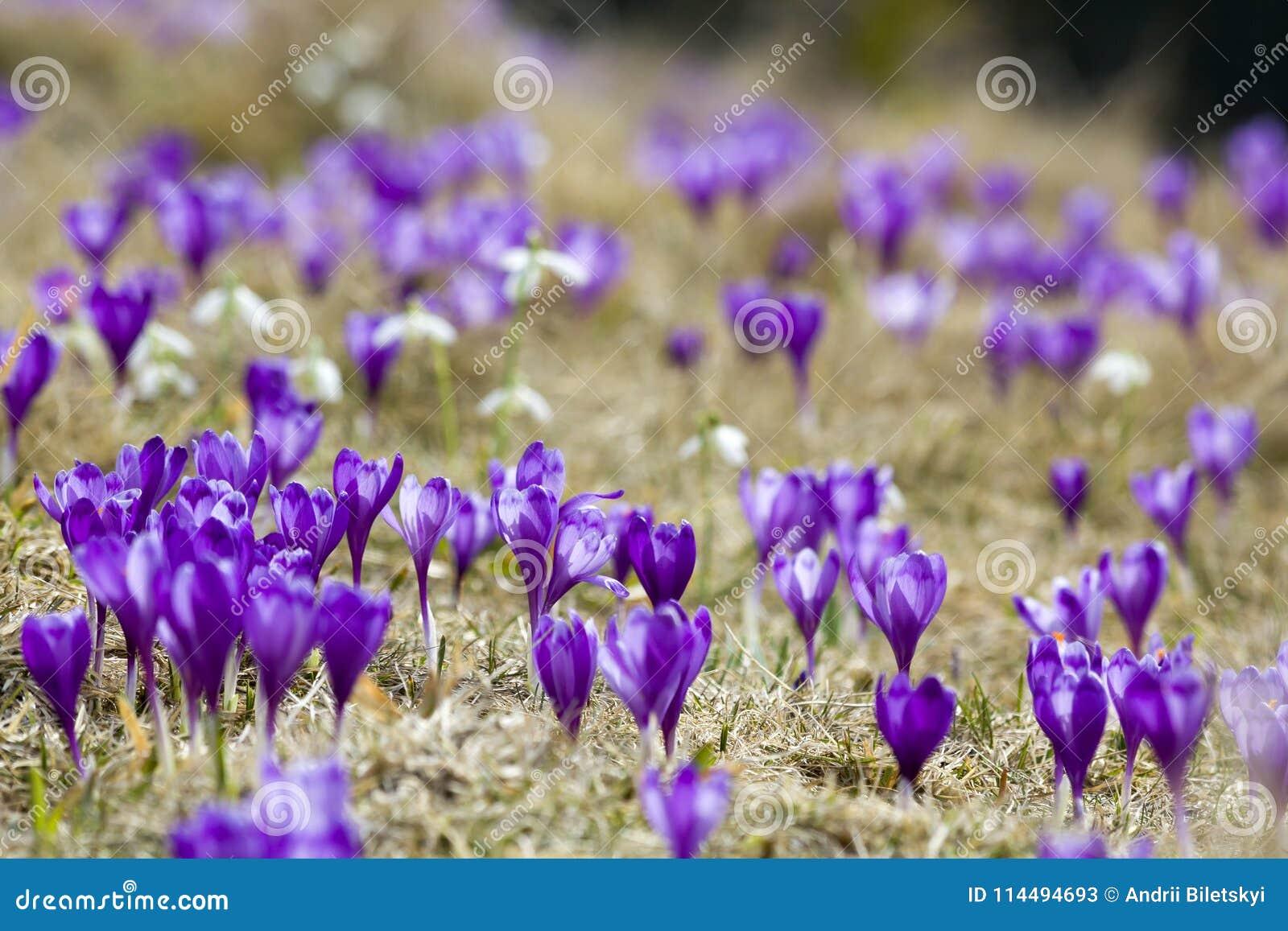Bella vista dei croco viola meraviglioso di fioritura nella valle delle montagne carpatiche sulla mattina luminosa della molla Ec