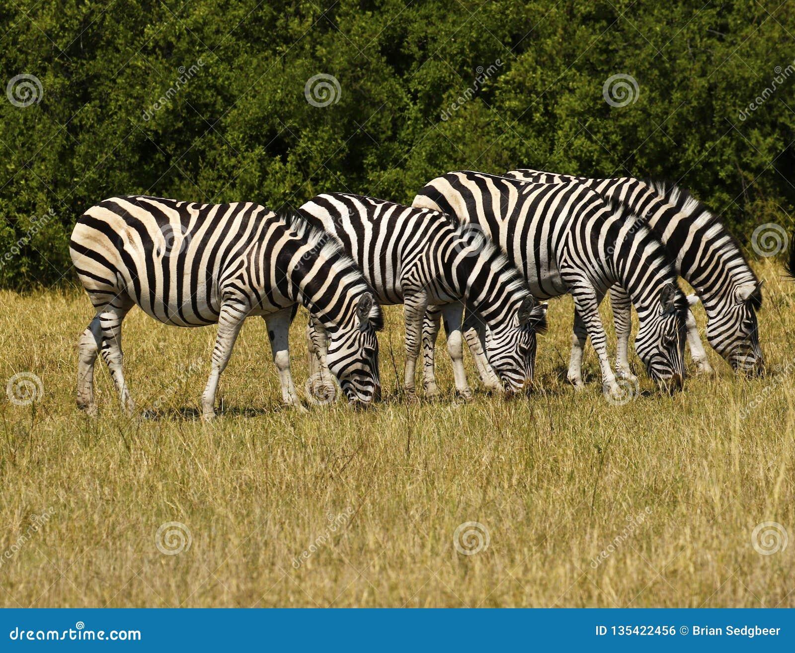 Bella zebra di Burchell e di Waterbucks sulle pianure africane
