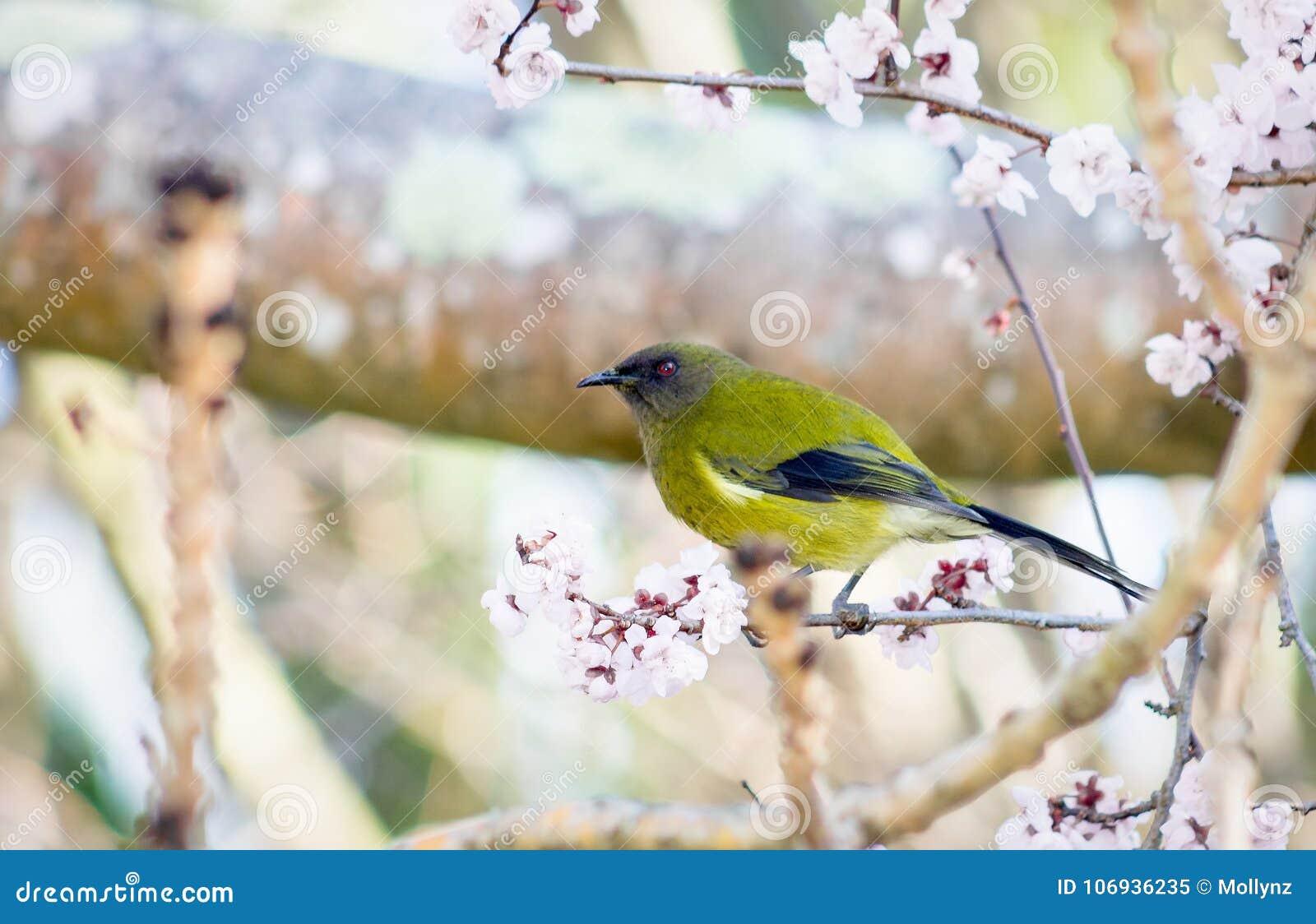 Bellbird Новой Зеландии