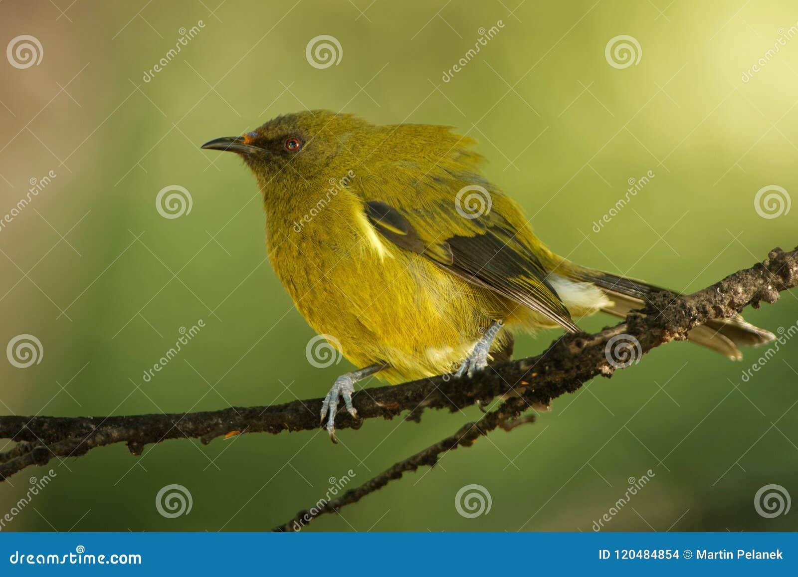 Bellbird - Anthornis melanura - makomako in Maori language, endemic bird - honeyeater from New Zealand in the green forest