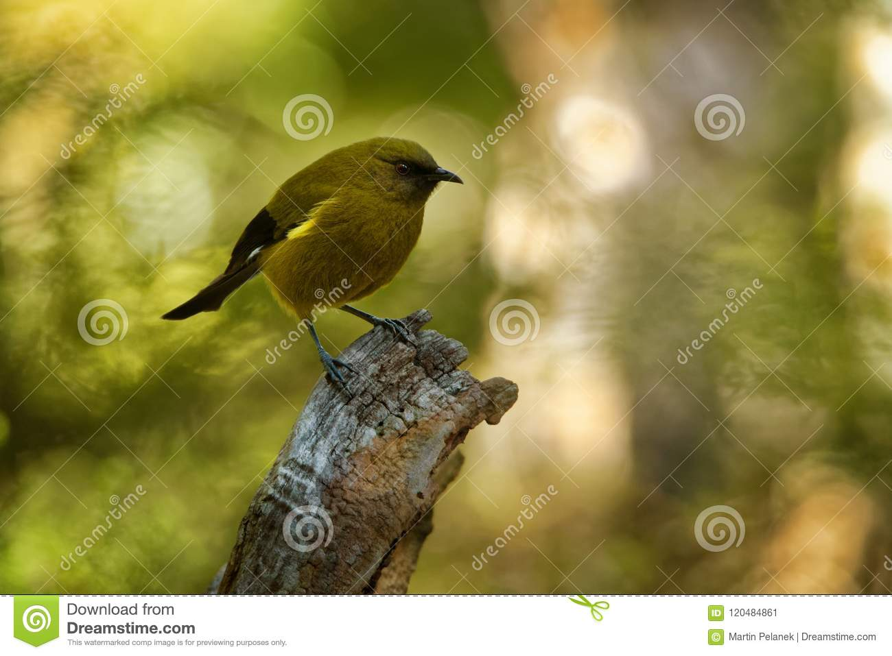 Bellbird - Anthornis melanura - makomako in Maori language, endemic bird - honeyeater from New Zealand in the green forest