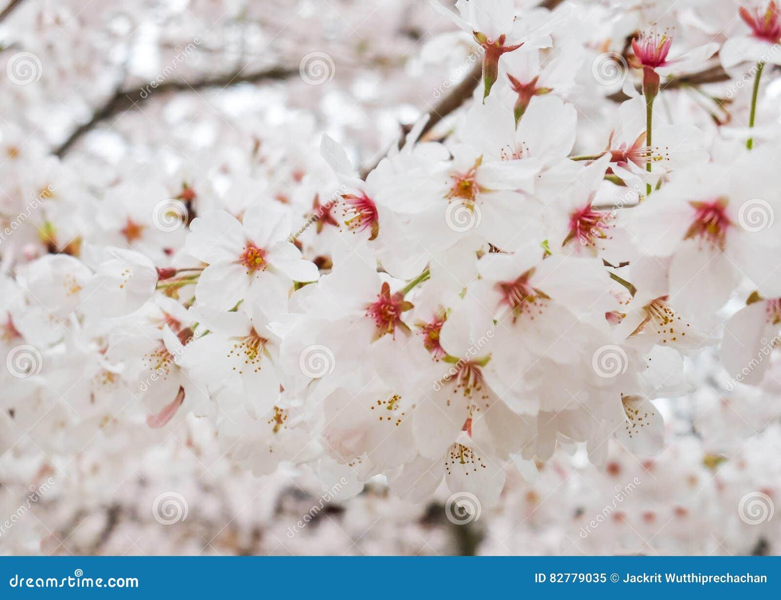 belle branche de floraison de sakura flowers ou de cherry