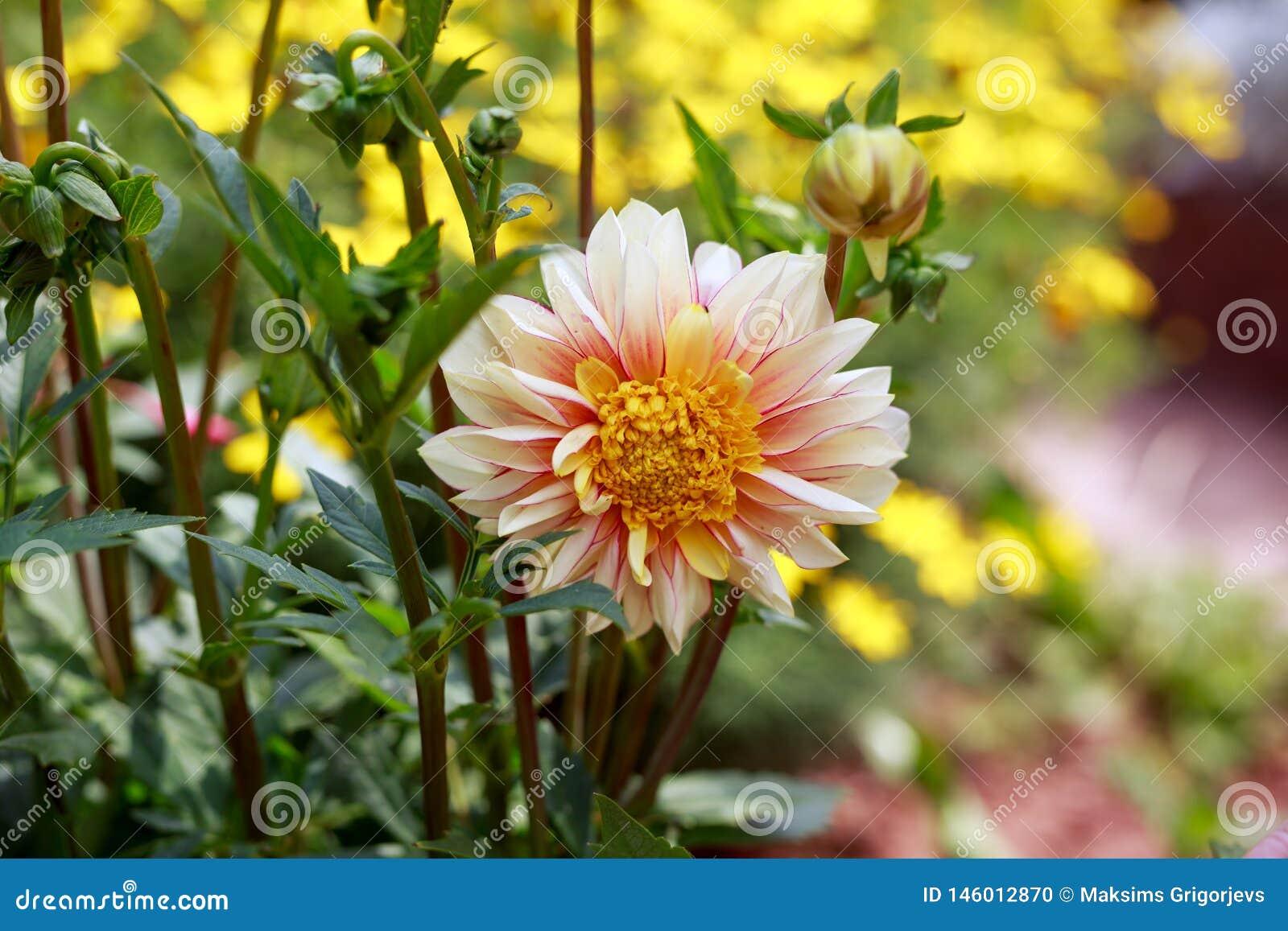 Belle brume de polka de dahlia en parc de jardin d été