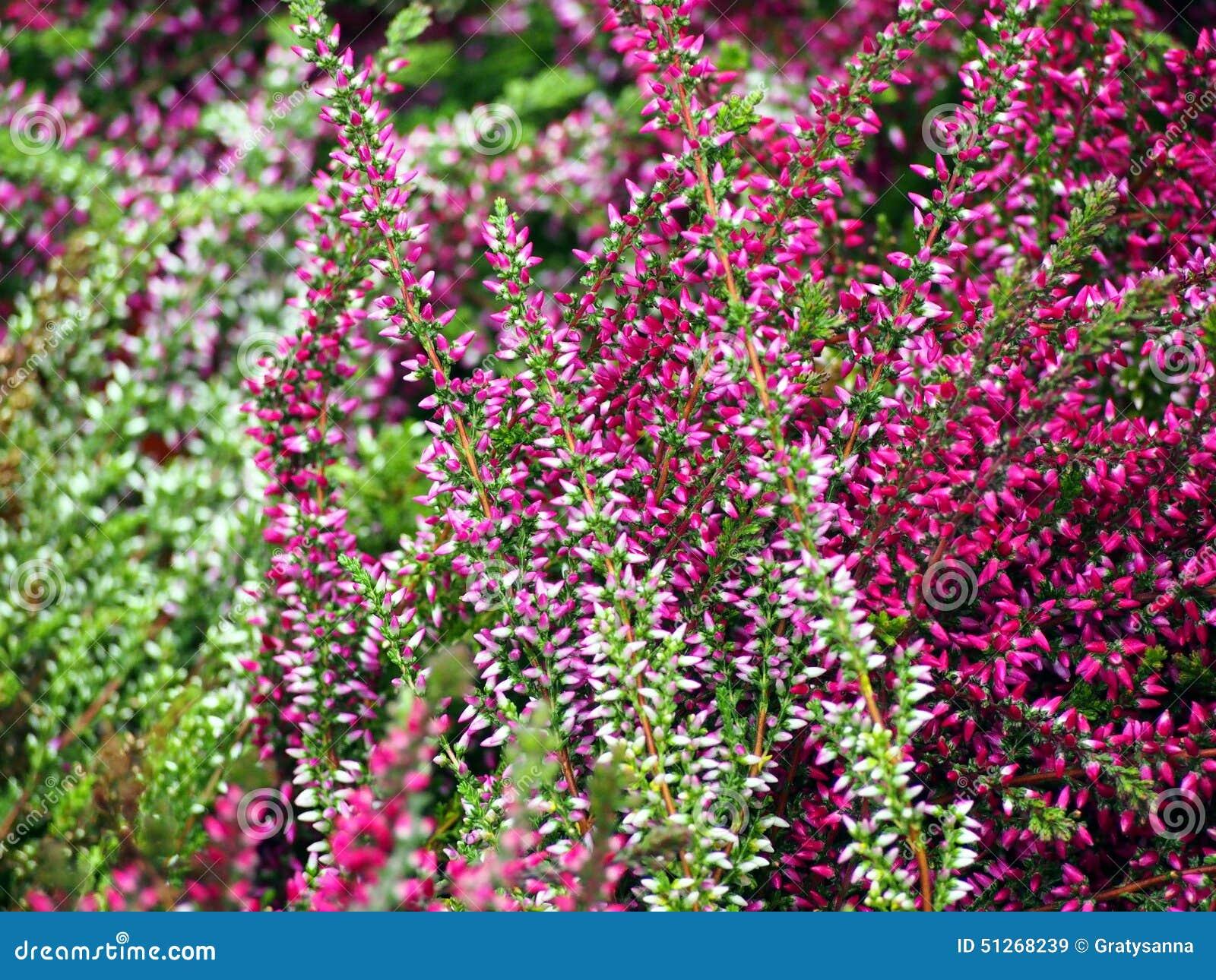 Belle Bruyere Rose Dans La Fleur Image Stock Image Du Aout Zone