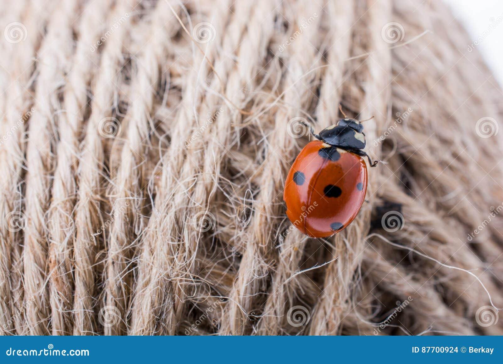 Belle coccinelle rouge marchant dans un fil