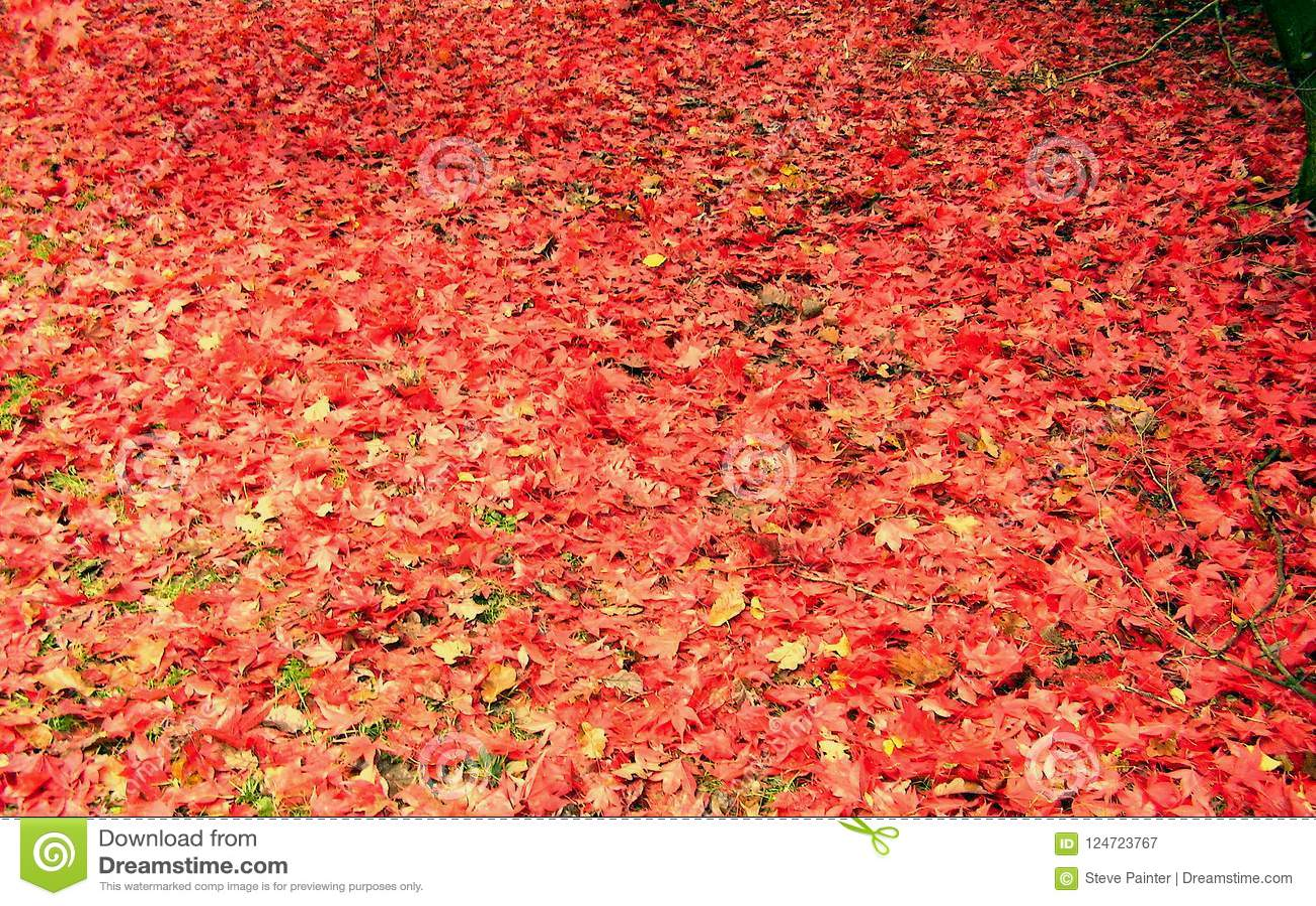 Belle couleur d automne des feuilles d érable