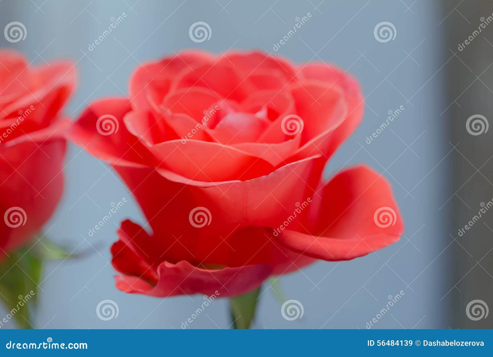Belle couleur de corail rose de floraison